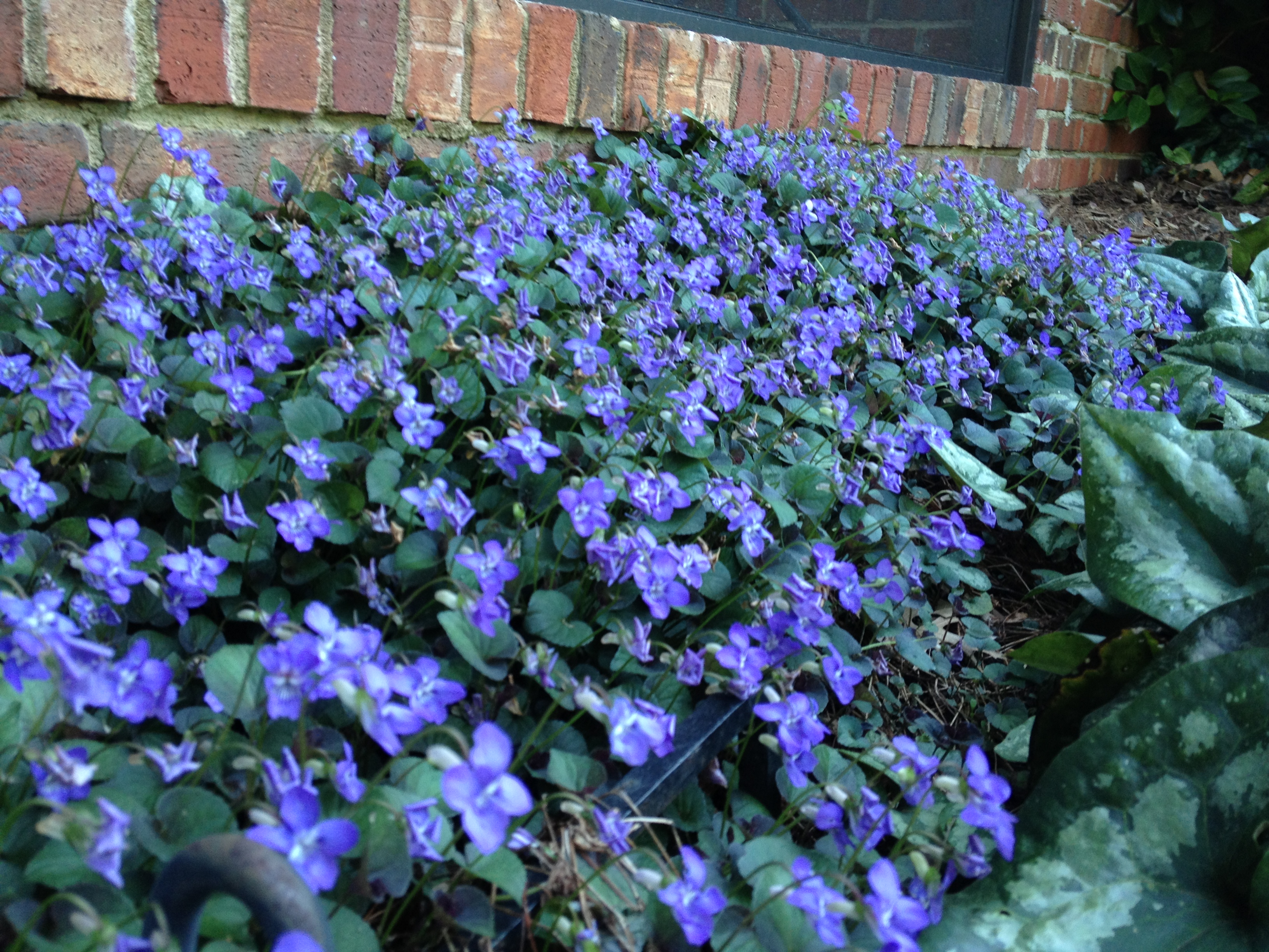 Flowering shrub tailored horticulture perennial violas in flower now at a customers back porch loves shade spreads mightylinksfo